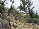 Steiniger Weg durch Olivenhaine